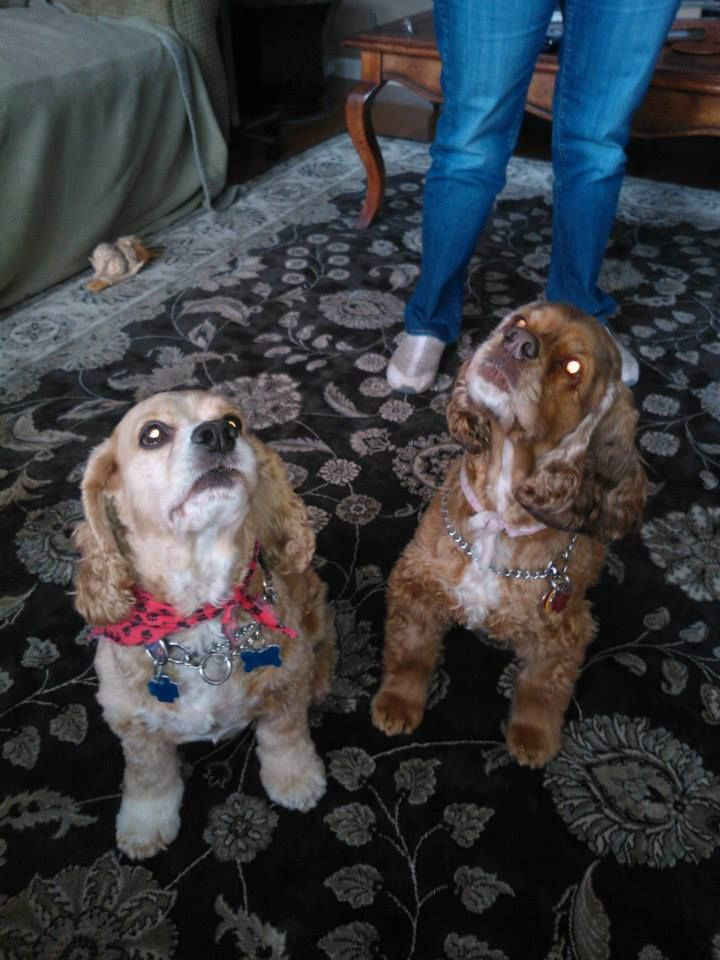 Bonded Pair Of Cocker Spaniels Need Foster Or Forever Home These