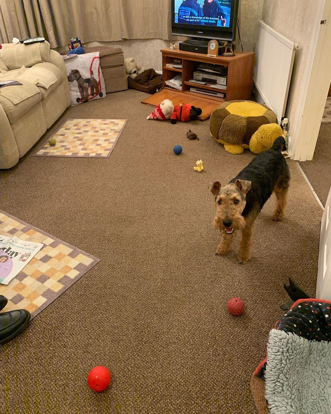 Welsh Terriers Terrier Dog Breeds Welsh Terrier Terrier