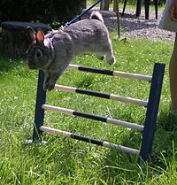 Rabbit jumping over a fence at a competition.