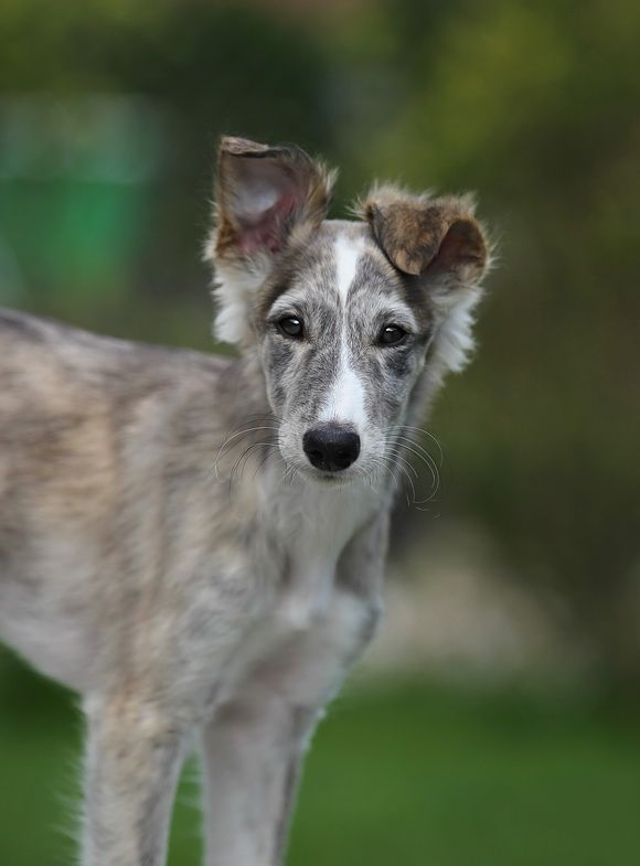long haired whippet puppy misc