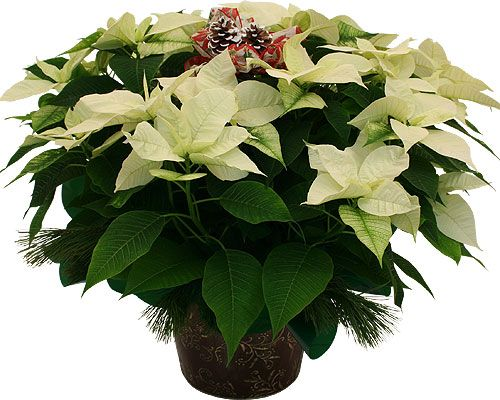 Large White Poinsettia Planter With Frosted Pinecones With
