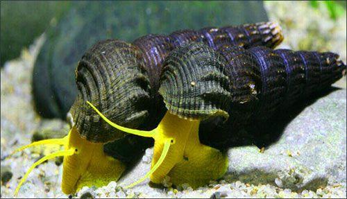 Картинки по запросу Tylomelania Yellow Sullavesi Rabbit Snail