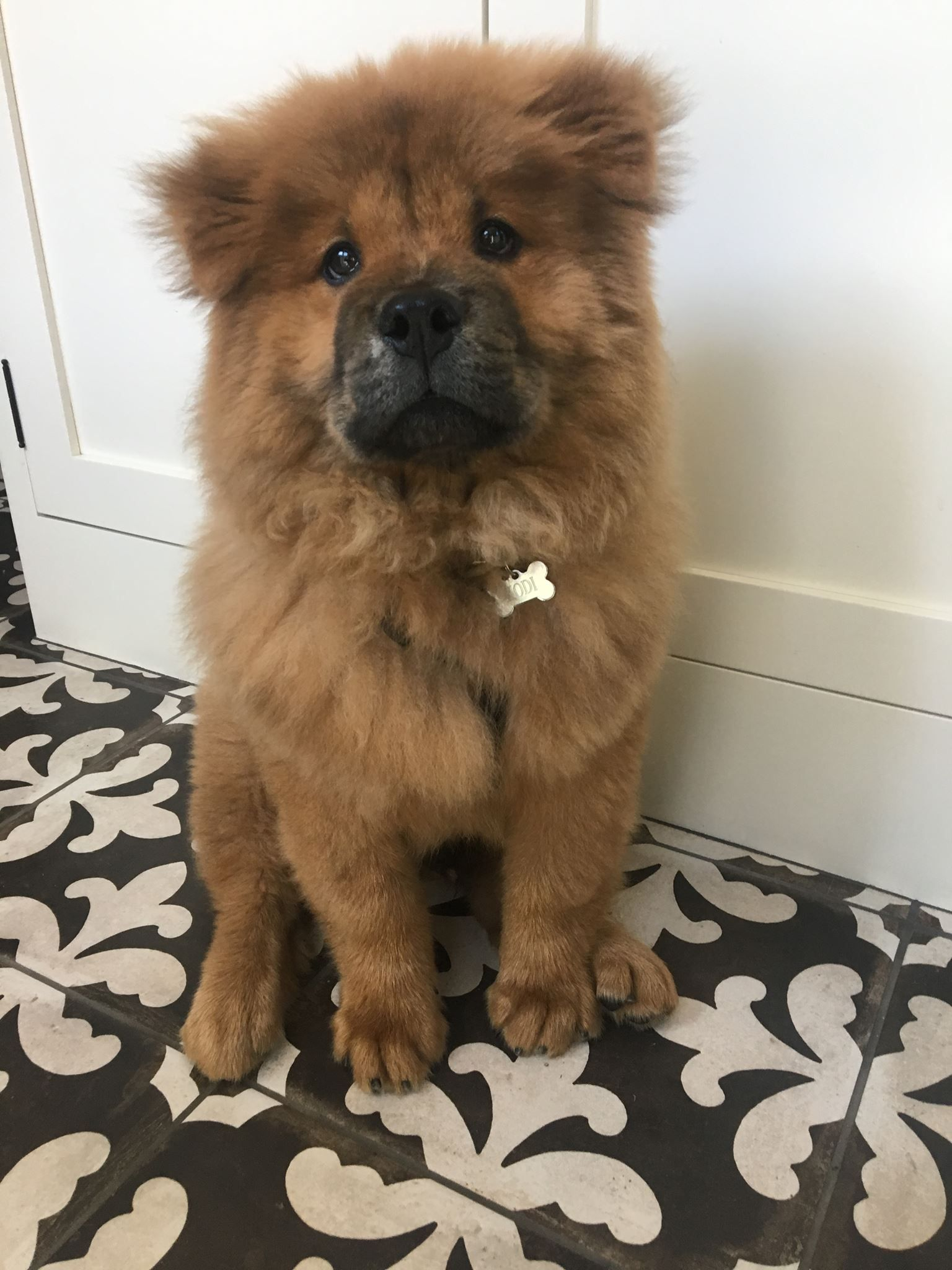 Ig Alphaomegatrades This Is Kodi The Chow Chow Dogpictures Dogs