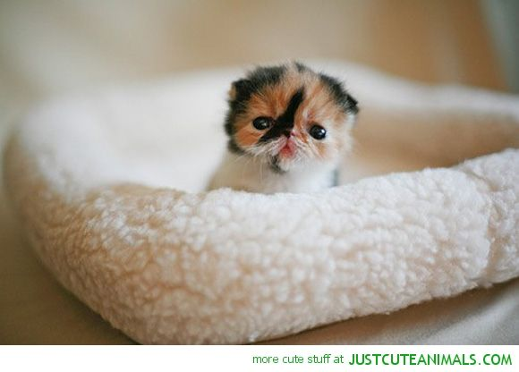 Cute Cat In Bed Tiny cat kitten lolcat bed