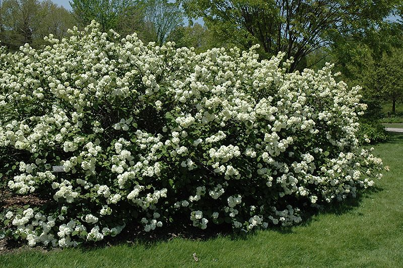 Viburnum Varieties Pictures Description fullsize