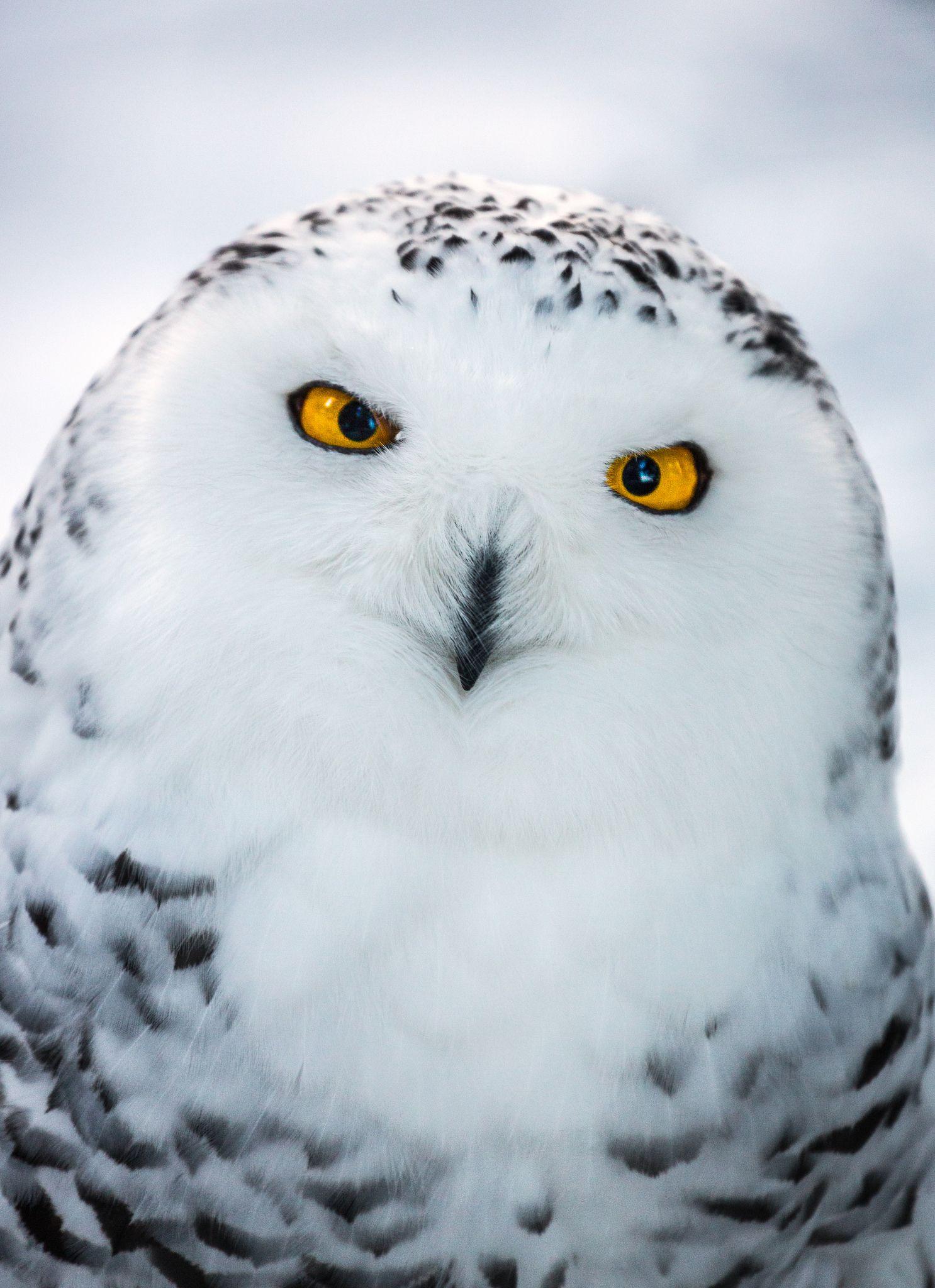 Snow Owl   Хищные птицы, Смешные животные