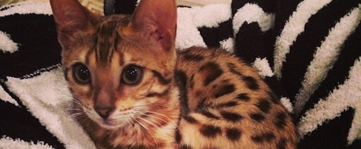 Le chat de Bengal est beaucoup plus qu'un chat photogénique sur Instagram.