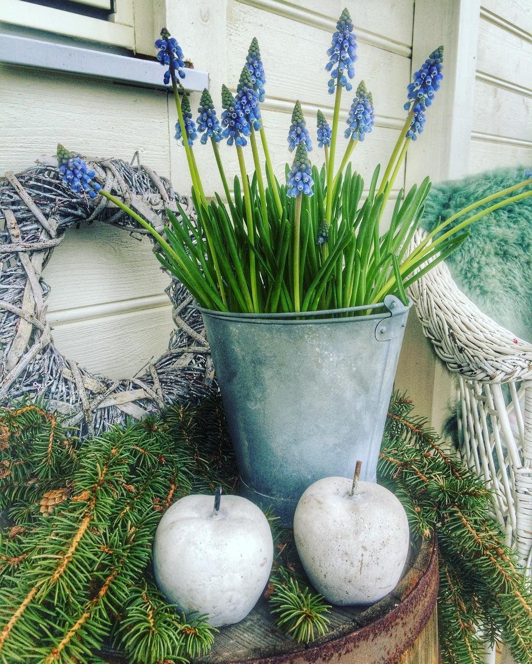 Perleblom på sitt vakreste  #våren er i anmarsj #minoaseno #flowers #spring #venterpåvåren #moseplassen #minhage #inngangsparti #velkommenhjem  #ig_myshot #mygarden