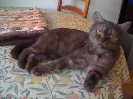 Satinmist British Shorthair Cats British Chocolate Shorthairs