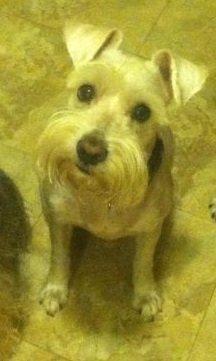 Adopt Reagan Update On Schnauzer Fur Babies Schnauzer Dogs