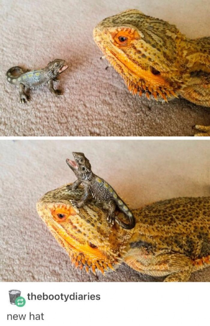 Get the #1 meme app! | anskimals | Funny lizards, Funny animals