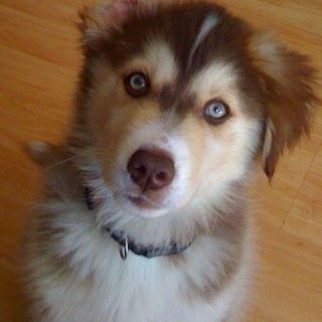Goberian 3 Want This Puppy Golden Retriever Husky Mix