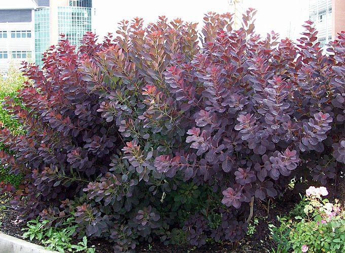 Royal Purple Smoke Bush Cotinus Coggygria Royal Purple Smoke Bush Shrub Habit Colonizing Slow Growing With Very Lon Smoke Bush Smoke Tree Garden Shrubs