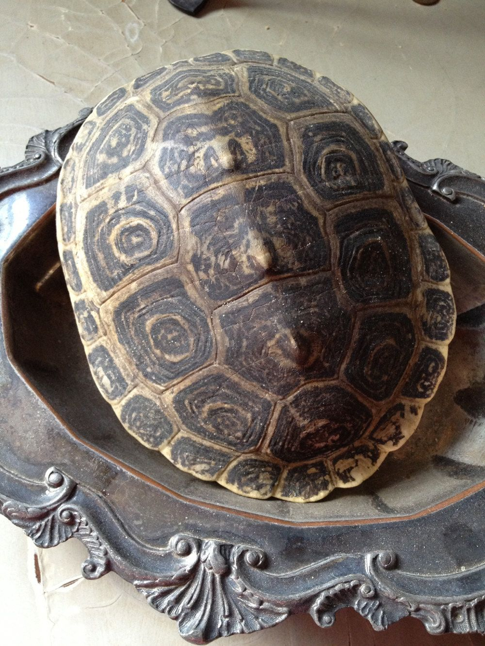 Turtle shell. The structure of the tortoiseshell