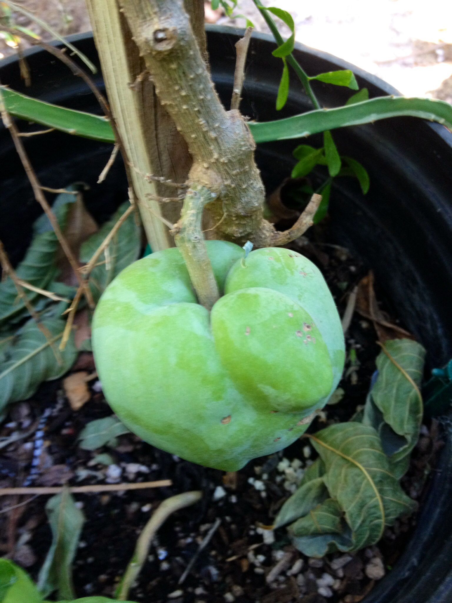 White Sapote Fruit At Tropica Mango Rare And Exotic Tropical Tree Nursery