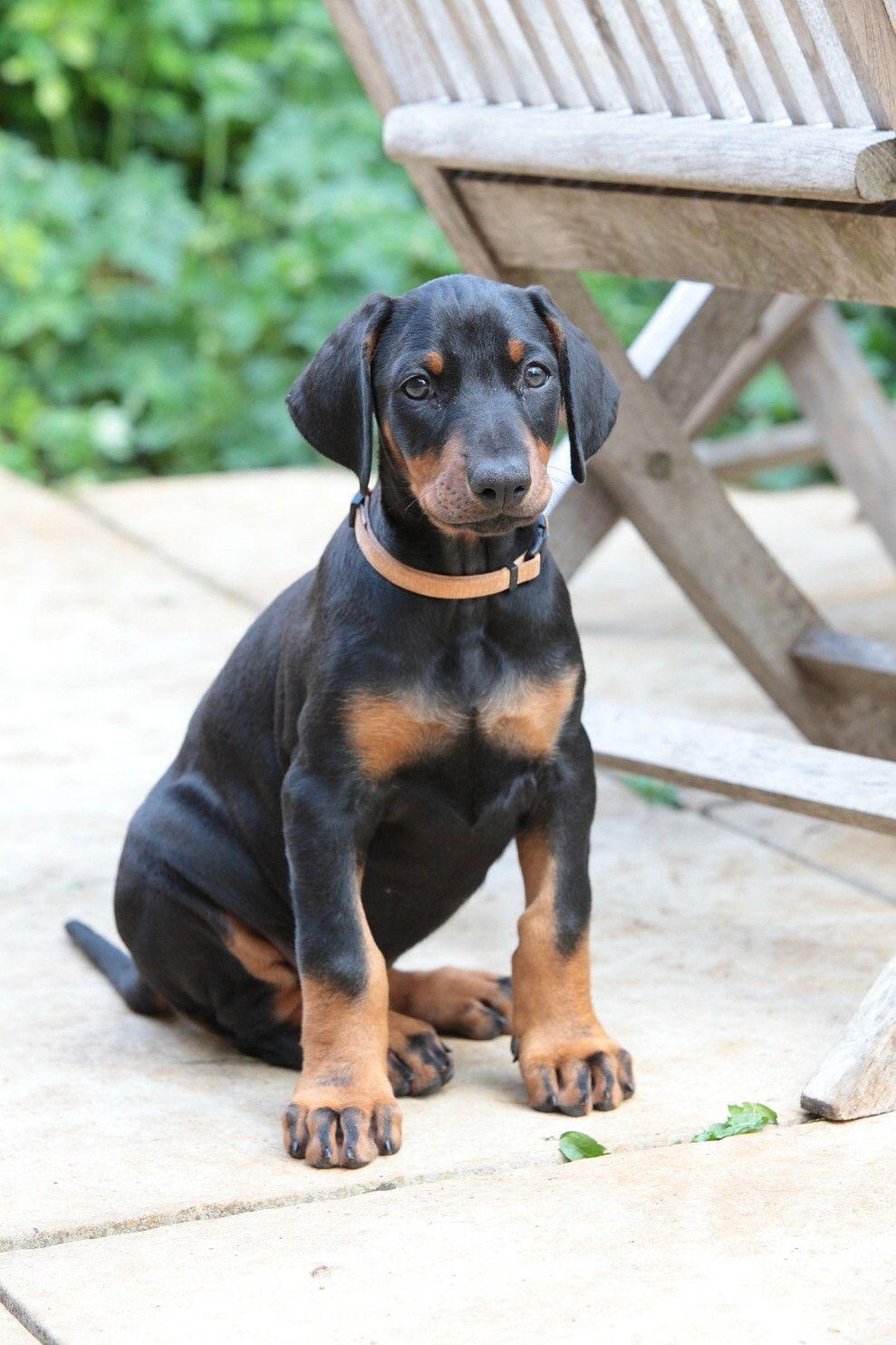 Doberman Puppy Train A Dog To Sit Lie Rollover Stand Fetch