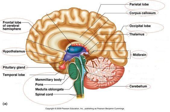 Brain Labeled Study Sheet Susana Pinterest Brain Anatomy