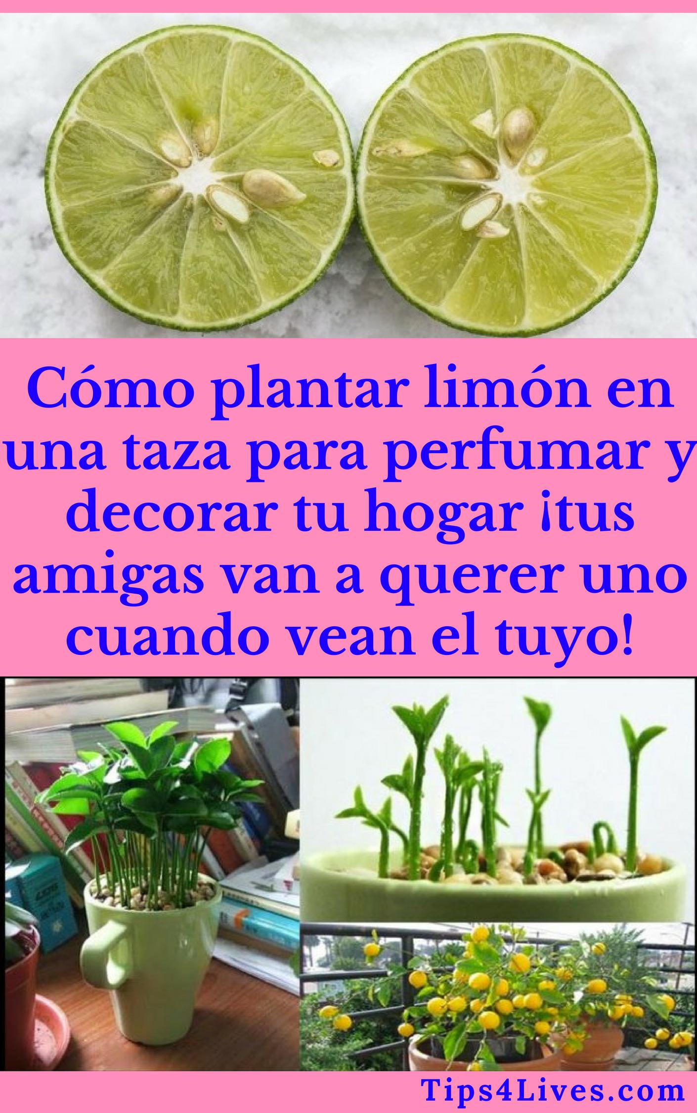 Cómo plantar limón en una taza para perfumar y decorar tu hogar ¡tus amigas van a querer uno cuando vean el tuyo!