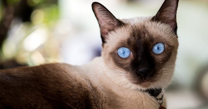 50 Beautiful Siamese Cat Names For Your Elegant Kitty Catvills