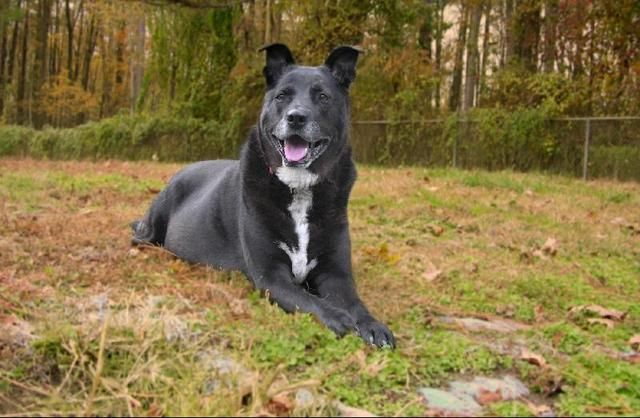MIXIE  9 years old, Female, Black lab mix, Very sweet, Best as an only dog.