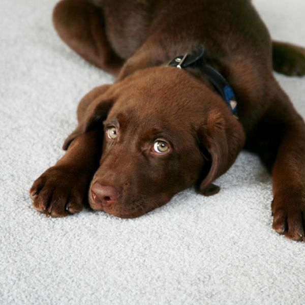 """Clean old pet stains: Tona from Clayton, New York contacted me about a problem she is having that we pet owners know all too well. """"Can a CLR cleaning product remove old carpet stains from pets and spills?"""""""