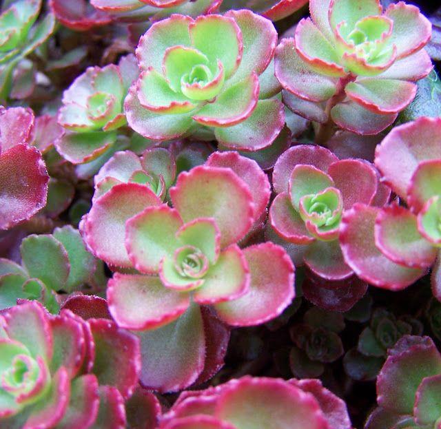 Sedum dragonsblood sedum spurium fleur rouge brillant for Plante rampante