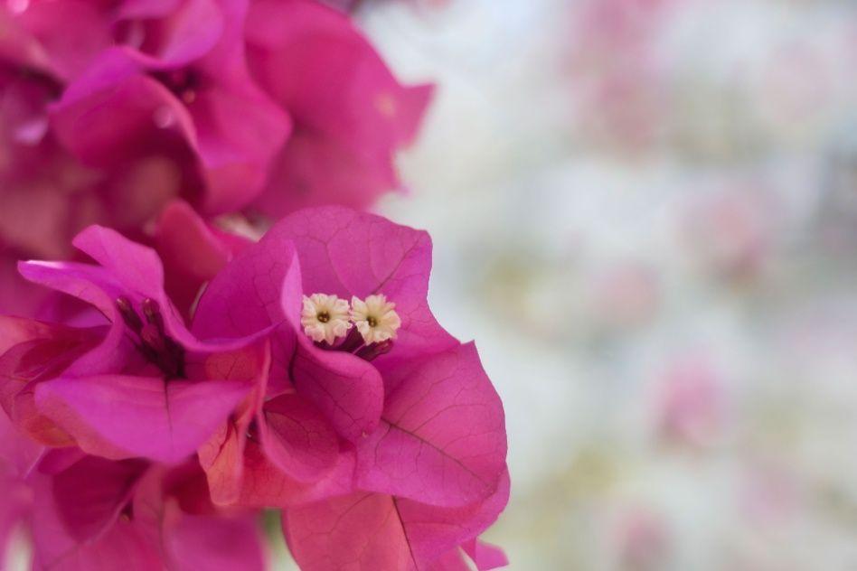 Rústica, a primavera tem raíz longa e requer regas diárias. Com desenvolvimento rápido, em poucos meses a planta torna-se vistosa com folhagem abundante