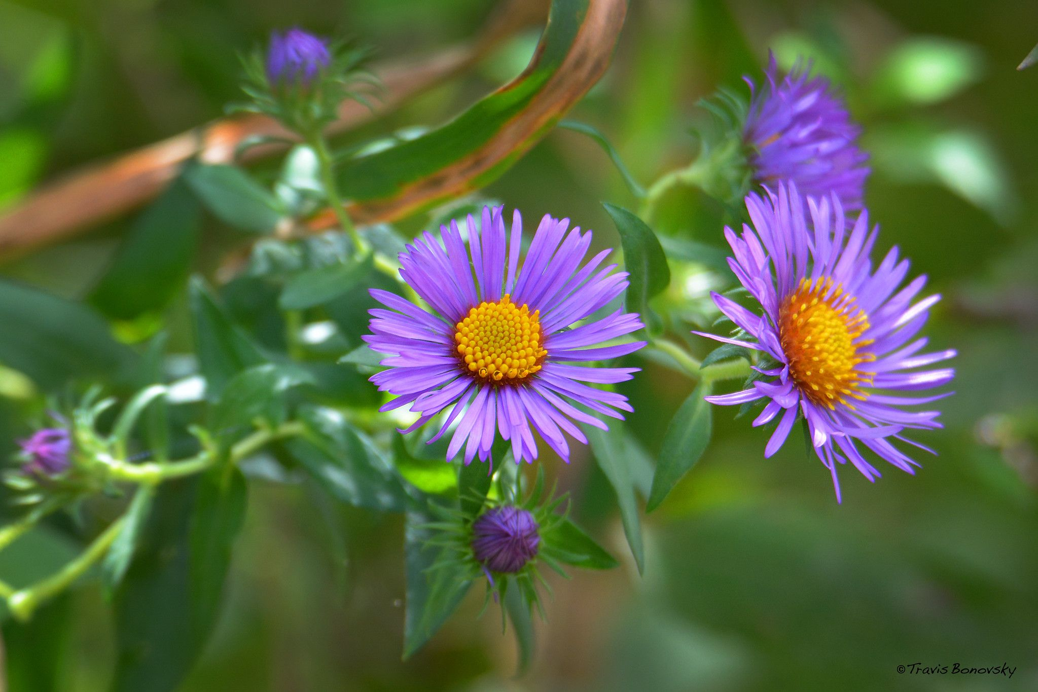 New England Aster Plants Flowers New England