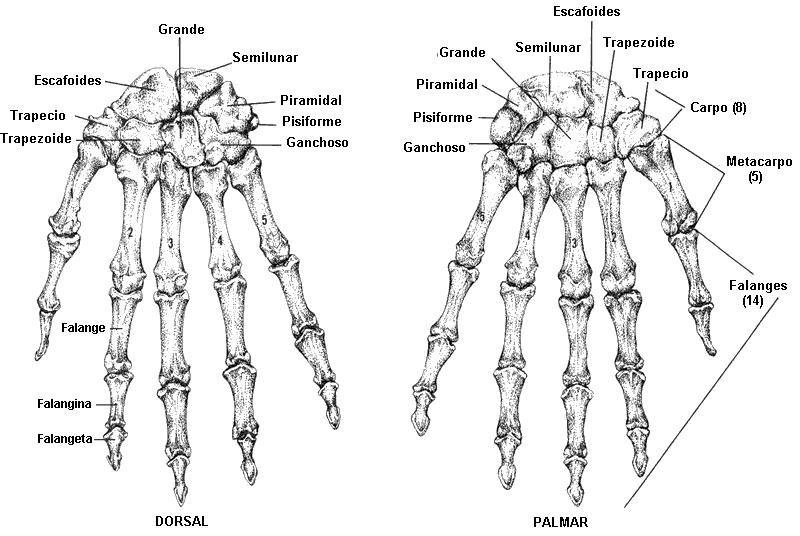 Osteologia de las manos | cuerpo humano | Pinterest | Anatomía ...