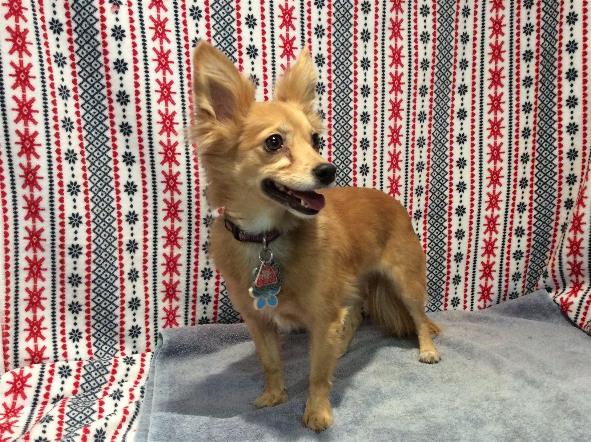 Body Image Chihuahuas for adoption, Chihuahua,