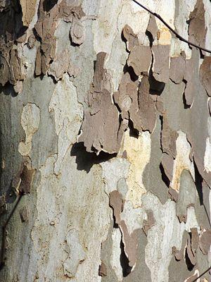 Shedding Bark Of The Sycamore White Tree Sycamore Tree Rainbow Eucalyptus