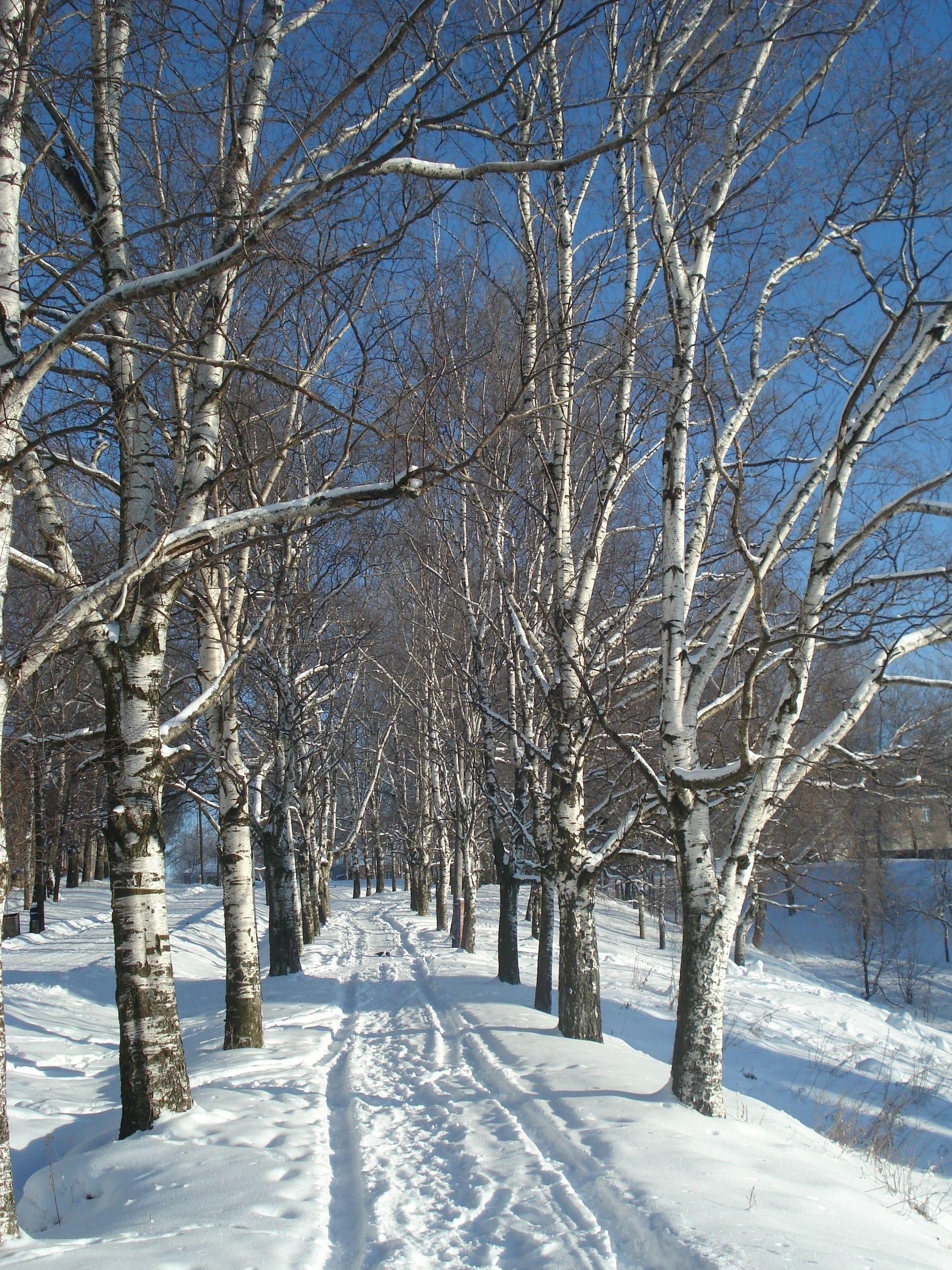Path lined with birch trees, Yaroslavl, Russia