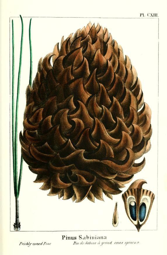 Pinus sabiniana. The North American sylva v.2 Philadelphia,Rice, Rutter & co.,1865. Biodiversitylibrary. Biodivlibrary. BHL. Biodiversity Heritage Library