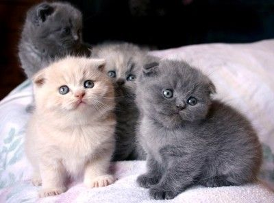 Standard Scottish Fold Munchkin Cats Scottish Fold Kittens