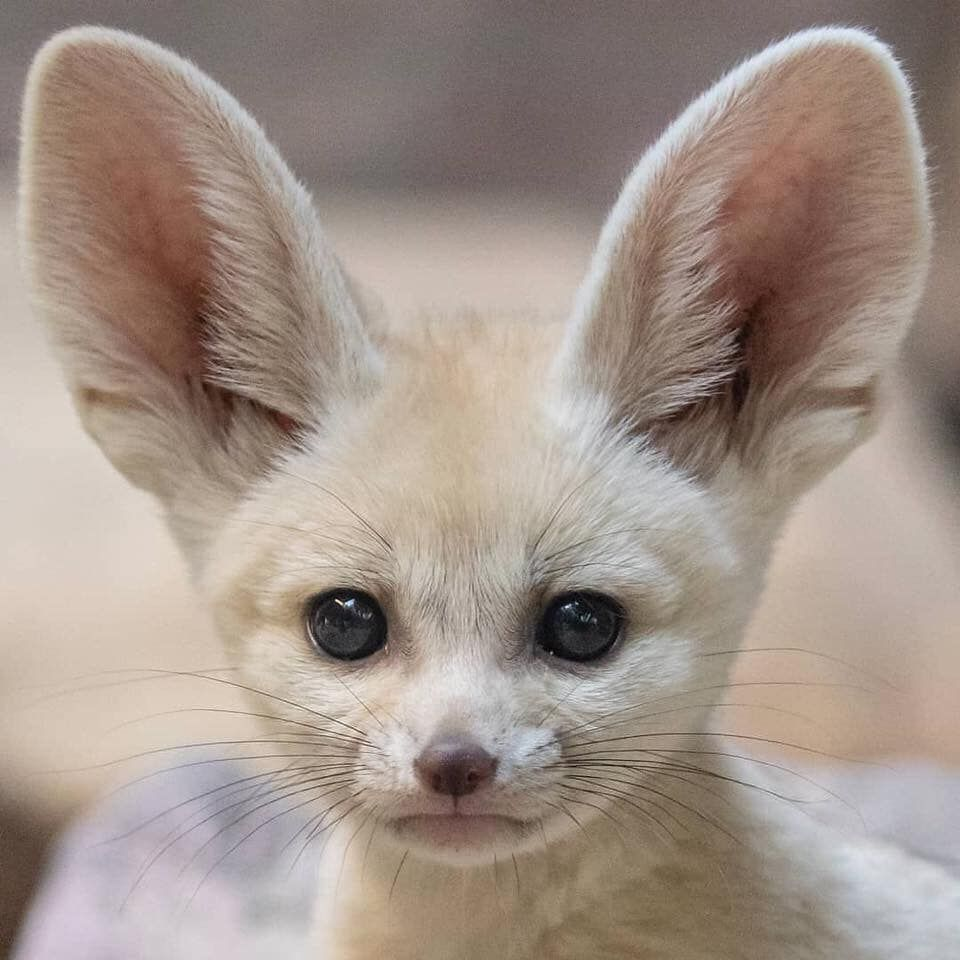 The Fennec Fox What An Adorable Creature Ig Shirleykroosphotography Https Www Facebook Com Awwstationnn Photos A 15 With Images Fox Pups Fennec Fox Pet Fennec Fox