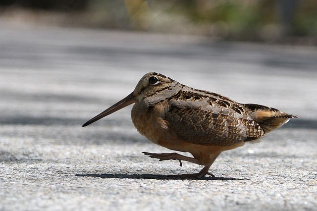 Image result for American woodcock