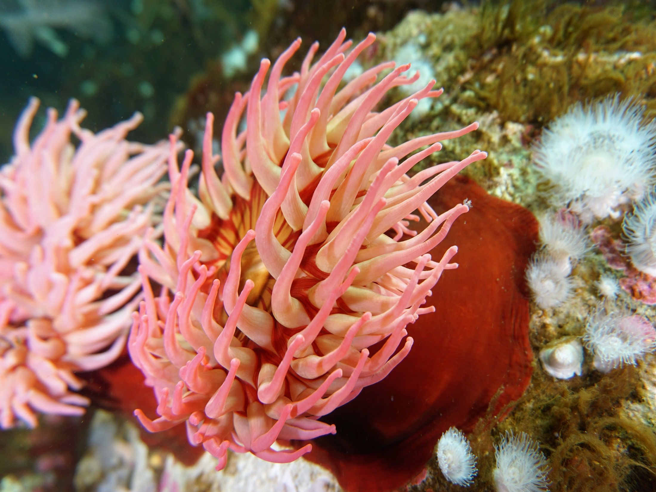 Sea Anemone Seattle Aquarium Akti Nii Ili Morskie Anemo Ny Lat Actiniaria Otryad Morskih Strekayushih Iz Klassa Kor In 2020 Sea Anemone Anemone One Piece Ship