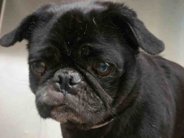 16 Yrs Super Urgent Manhattan Camille A1090323 Female Black Pug