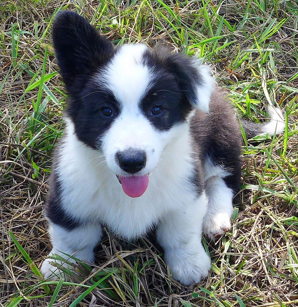 Cardigan Corgi Puppies Virginia