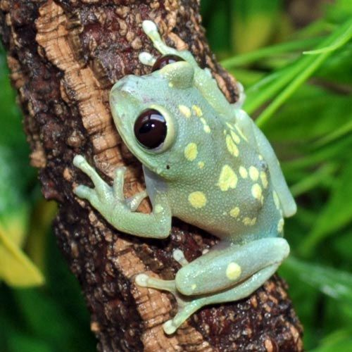 Ruby-Eyed Moon Frogs (Leptopelis uluguruensis) | FROGS TURTLES