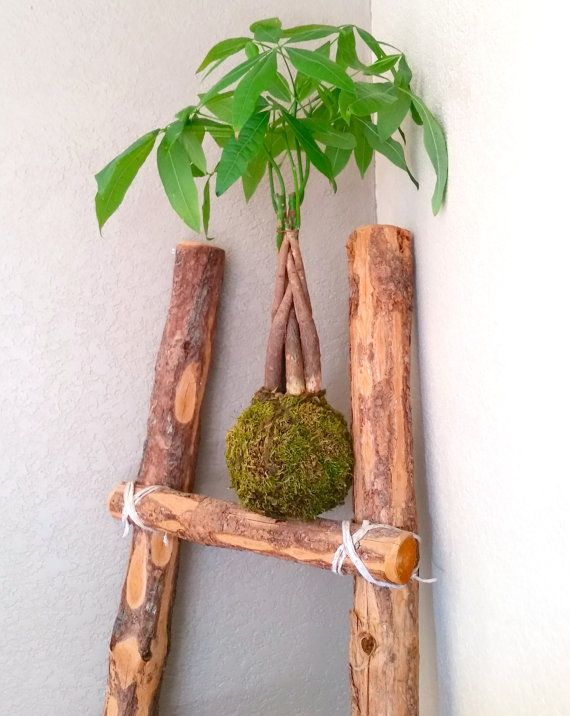 Chinese Money Tree Plant Pachira Aquatica This Bonsai Was Handcrafted Following The Ancient Art Of Kokedama Money Trees Chinese Money Tree Money Tree Plant