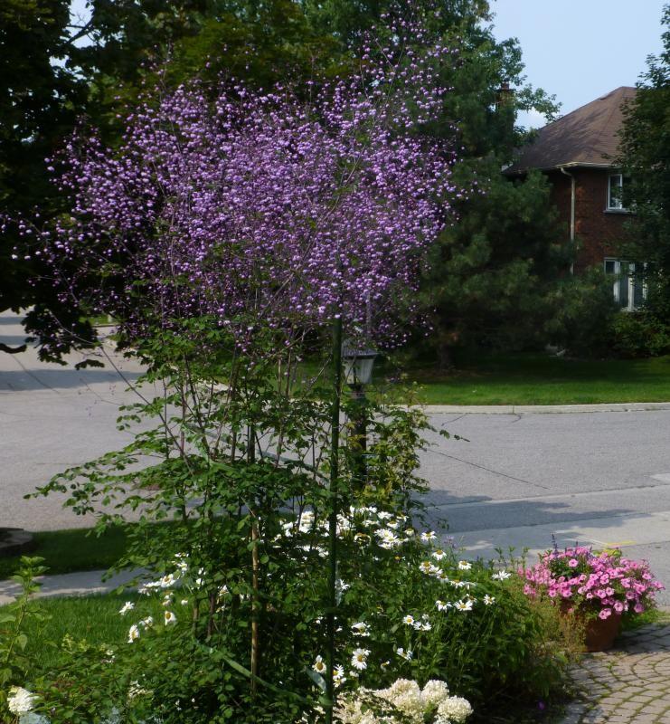 Kwiaty Jak Mgla Rutewka Delavaya Rzadkosc 6754536622 Allegro Pl Plants English Cottage Garden Annual Plants