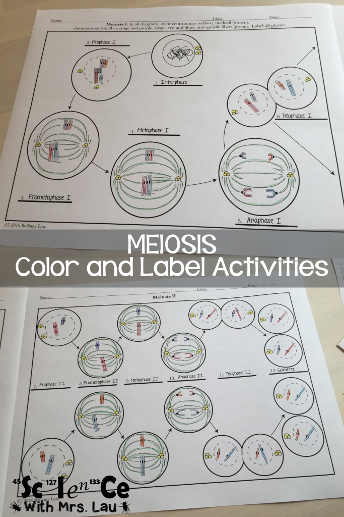 How i teach mitosis and meiosis in high school biology high school how i teach mitosis and meiosis in high school biology the tpt blog ccuart Gallery