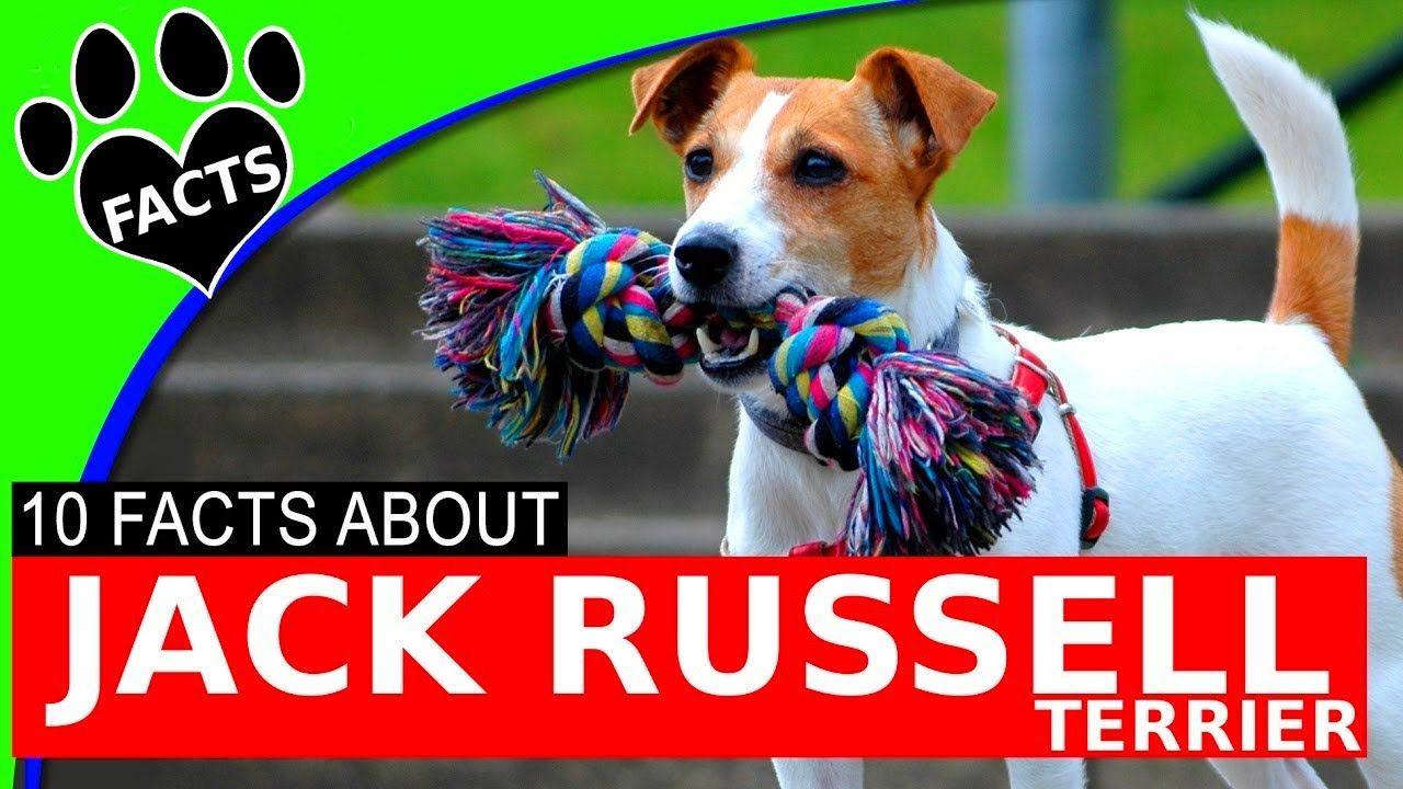 Dogs 101 Jack Russell Terrier Parson Russell Most Popular Dog