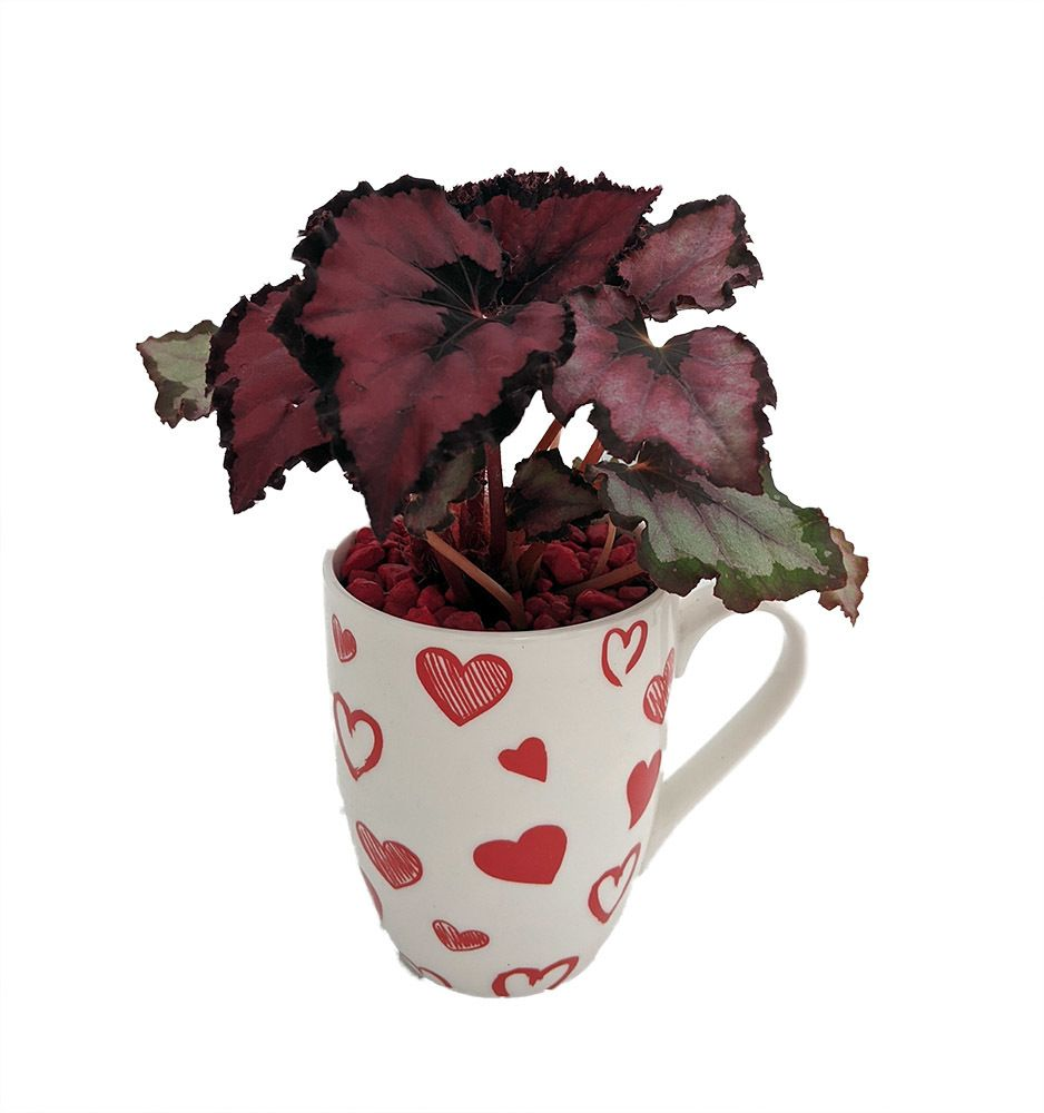 Beggin For Love Begonia Red Robin Rex Begonia Plant In Hearts