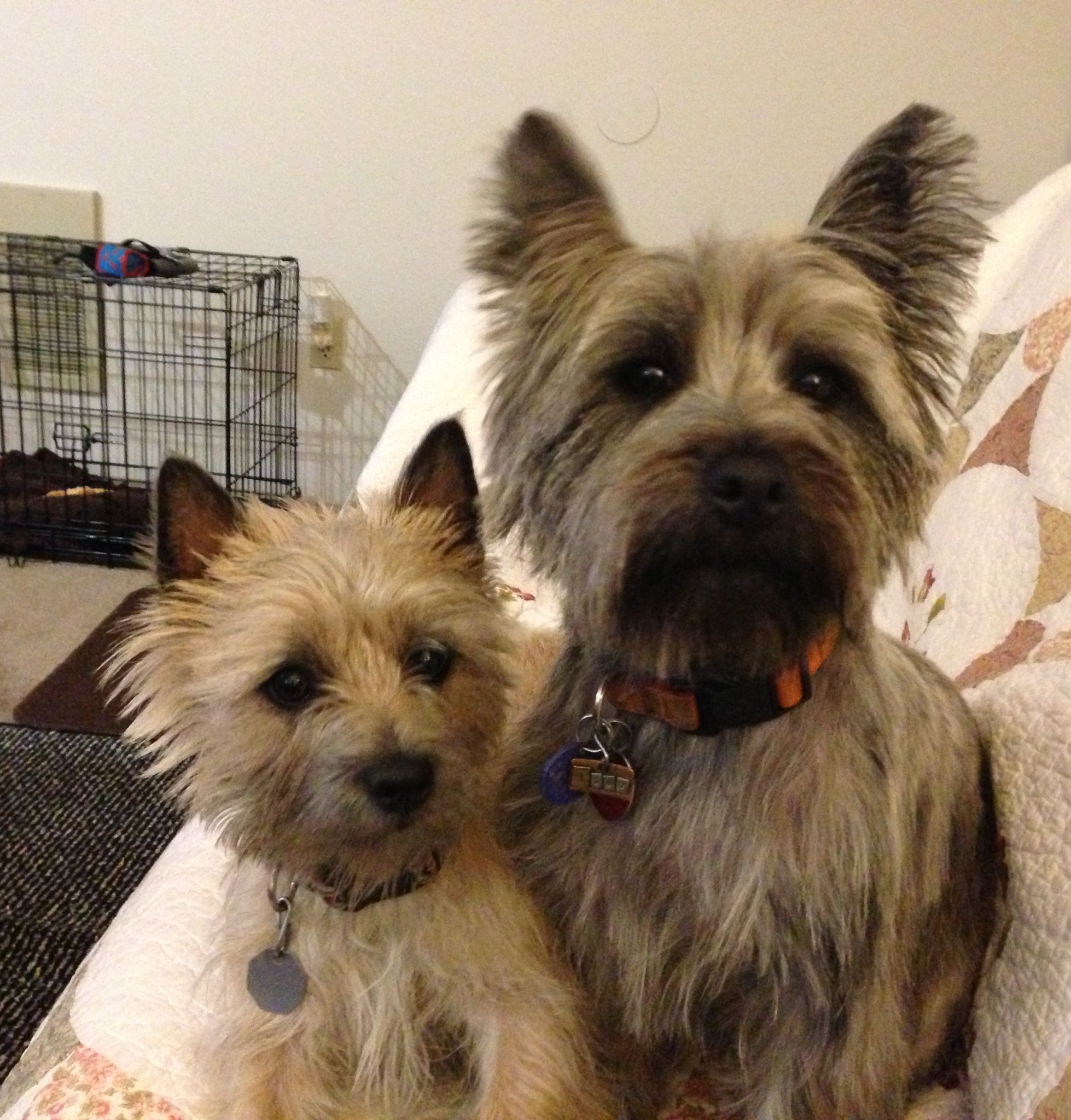 Our Norwich And Cain Terriers Cairn Terrier Terrier Dog Breeds