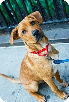 New York, NY Australian Shepherd/Boxer Mix. Meet Luke, a