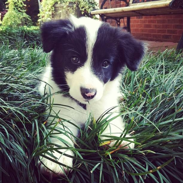Border Collie Puppy To Cute With Images Collie Puppies Border