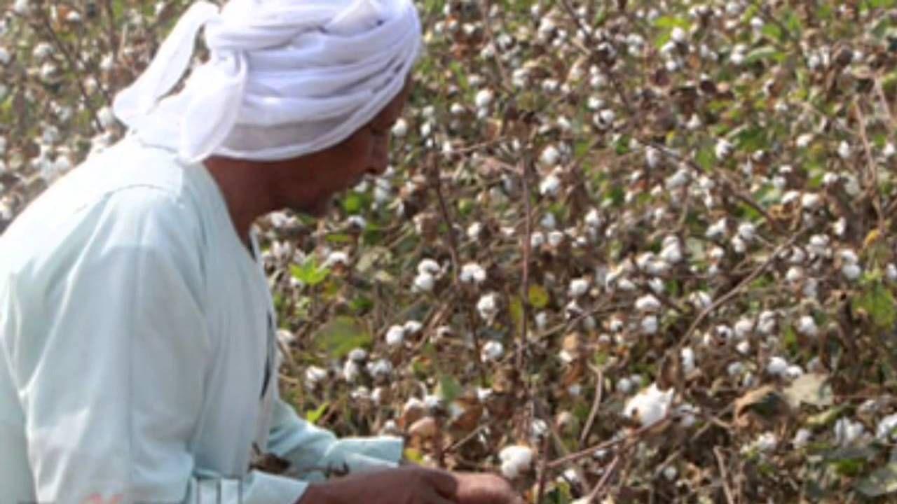 Plant the future Egypt, Cotton