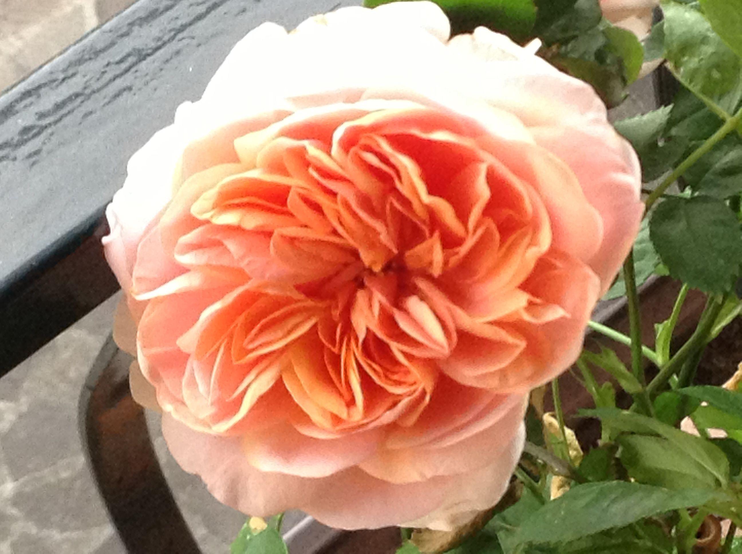 My peach rose | I love flowers,their shape,their Colors,their smell ...